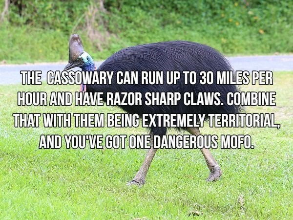 Flightless bird - THE CASSOWARY CAN RUN UP TO 30 MILES PER HOUR AND HAVE RAZOR SHARP CLAWS. COMBINE THAT WITH THEM BEING EXTREMELY TERRITORIAL, AND YOU'VE GOT ONE DANGEROUS MOFO.