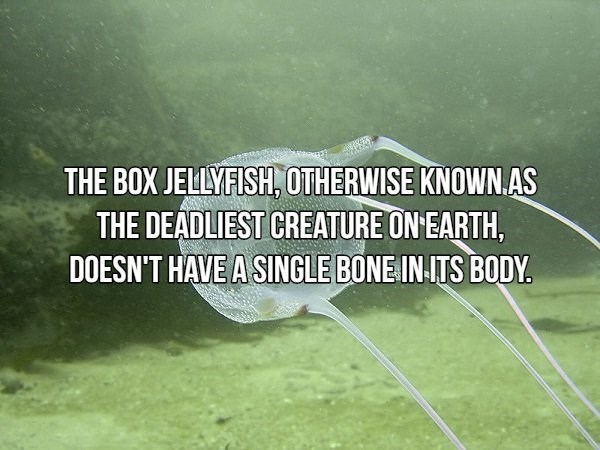 Text - THE BOX JELLYFISH, OTHERWISE KNOWN.AS THE DEADLIEST CREATURE ON EARTH, DOESN'T HAVE A SINGLE BONE IN-ITS BODY.