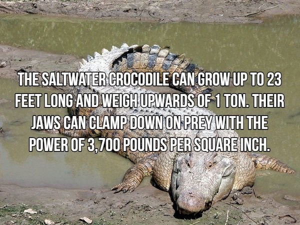 Reptile - THE SALTWATER CROCODILE CAN GROW UP TO 23 FEET LONG AND WEIGH UPWARDS OF 1 TON. THEIR JAWS CAN CLAMP DOWN ON PREY WITH THE POWER OF 3,700 POUNDS PER SQUARE INCH.