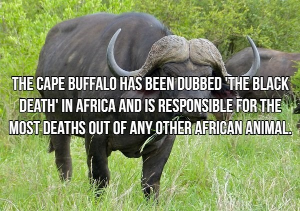 Terrestrial animal - THE CAPE BUFFALO HAS BEEN DUBBED THE BLACK DEATH' IN AFRICA AND IS RESPONSIBLE FOR THE MOST DEATHS QUT OF ANY OTHER AFRICAN ANIMAL.