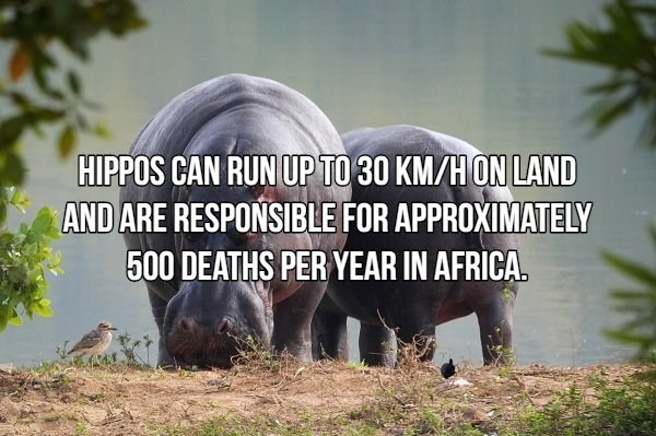 Terrestrial animal - HIPPOS CAN RUN UP TO 30 KM/HON LAND AND ARE RESPONSIBLE FOR APPROXIMATELY 500 DEATHS PER YEAR IN AFRICA.