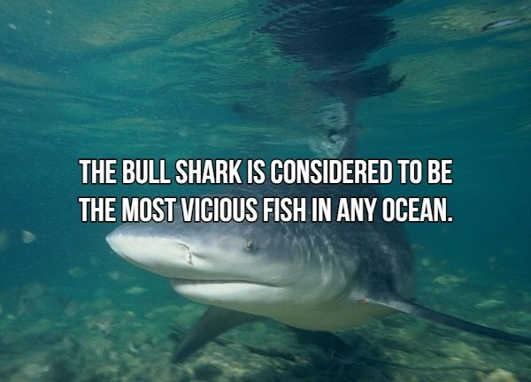 Fish - THE BULL SHARK IS CONSIDERED TO BE THE MOST VICIOUS FISH IN ANY OCEAN.