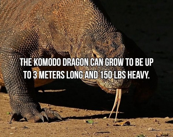 Vertebrate - THE KOMODO DRAGON CAN GROW TO BE UP TO 3 METERS LONG AND 150 LBS HEAVY.