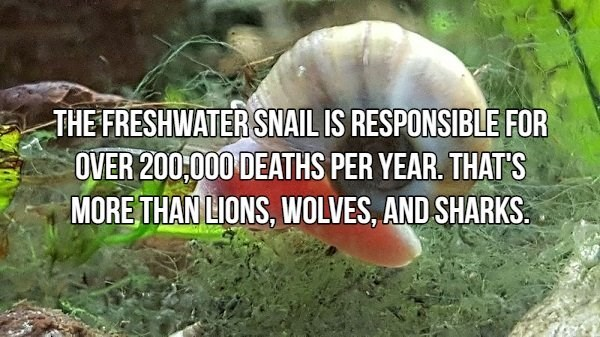 Medicinal mushroom - THE FRESHWATER SNAIL IS RESPONSIBLE FOR OVER 200:000 DEATHS PER YEAR. THAT'S MORE THAN LIONS, WOLVES, AND SHARKS.