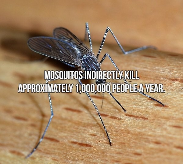 Insect - MOSQUITOS INDIRECTLY KILL APPROXIMATELY 1,000,000 PEOPLE A YEAR.