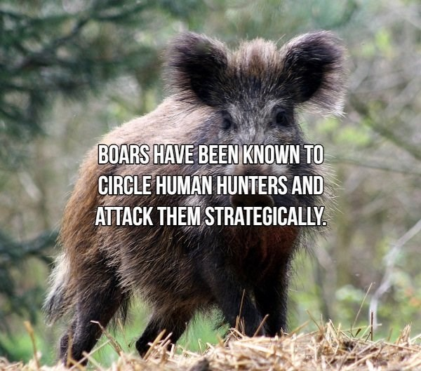 Vertebrate - BOARS HAVE BEEN KNOWN TO CIRCLE HUMAN HUNTERS AND ATTACK THEM STRATEGICALLY.