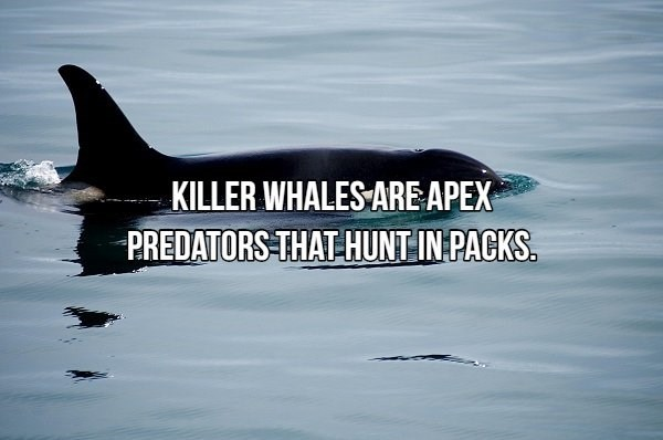 Marine mammal - KILLER WHALES ARE APEX PREDATORS THAT HUNT IN PACKS.