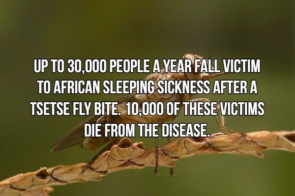Text - UP TO 30,000 PEOPLE AYEAR FALL VICTIM TO AFRICAN SLEEPING SICKNESS AFTER A TSETSE FLY BITE. 10,000 OF THESE VICTIMS DIE FROM THE DISEASE.