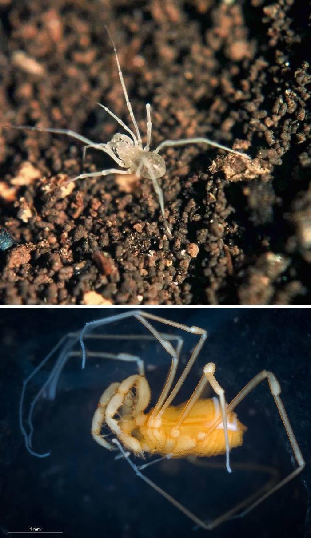 Spider - 1 mm