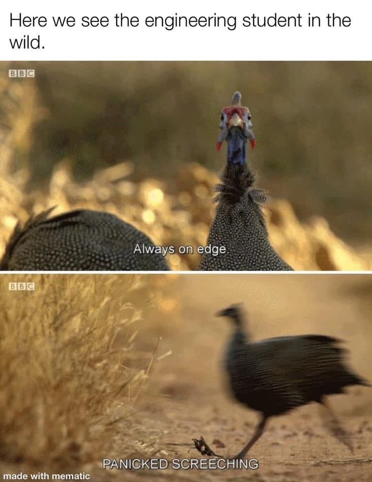 Bird - Here we see the engineering student in the wild. BBC Always on edge PANICKED SCREECHING made with mematic