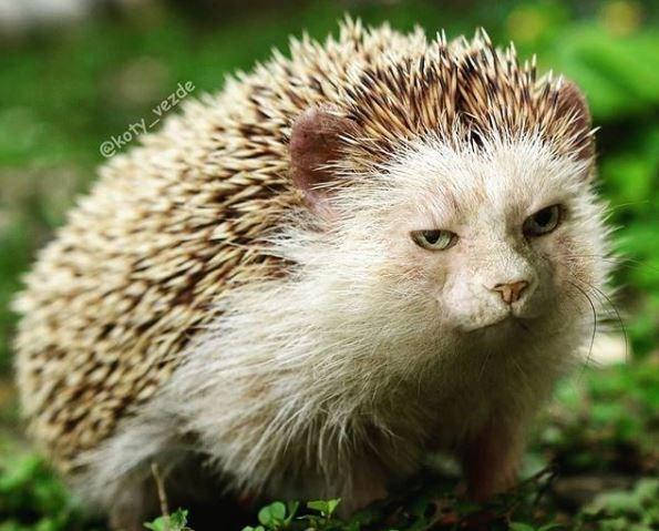 Hedgehog - @koty_vezde