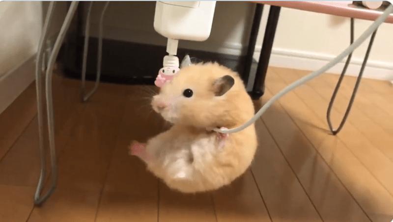 cute animals cute hamster Japan animal video - 9406469