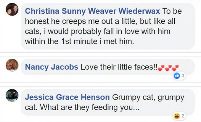 Text - Christina Sunny Weaver Wiederwax To be honest he creeps me out a little, but like all cats, i would probably fall in love with him within the 1st minute i met him. Nancy Jacobs Love their little faces!! Jessica Grace Henson Grumpy cat, grumpy cat. What are they feeding you...