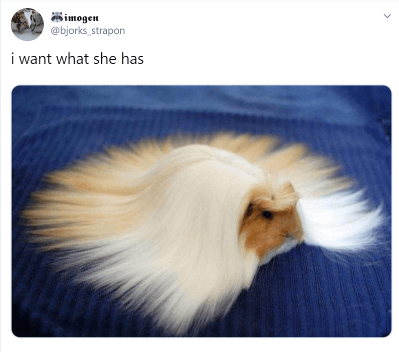 Guinea pig - imogen @bjorks_strapon i want what she has