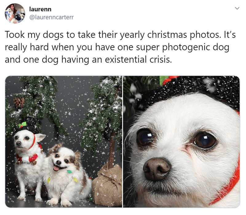 Dog breed - laurenn @laurenncarterr Took my dogs to take their yearly christmas photos. It's really hard when you have one super photogenic dog and one dog having an existential crisis.