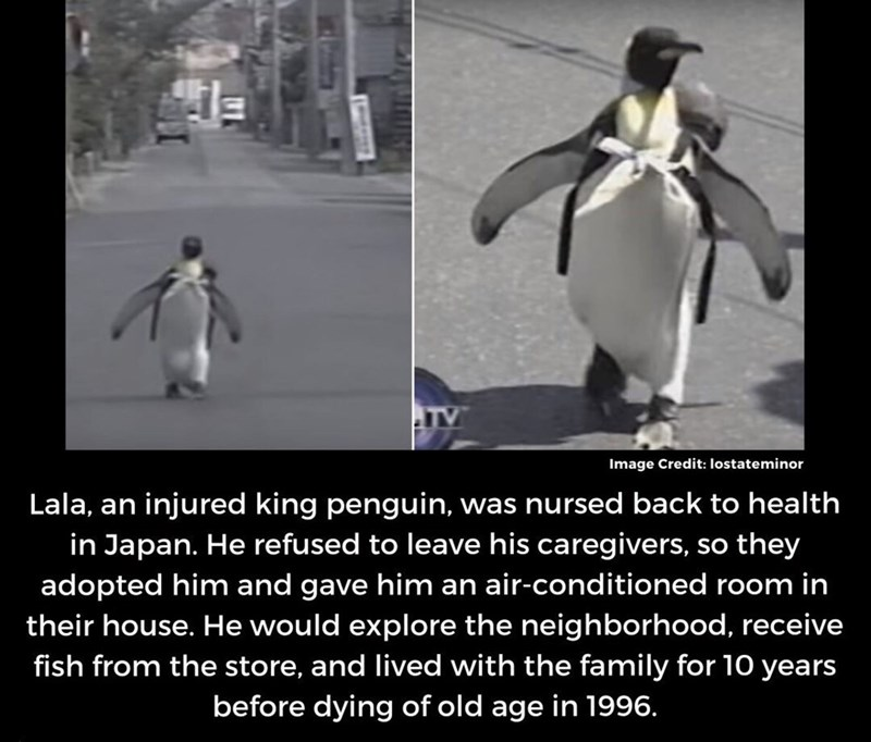 story and pic of Lala the penguin whom refused to leave his rescuers so they adopted him and gave him an air conditioned room in their house and he would walk around the neighborhood and buy fish from a store and he lived with them for 10 years before dying of old age