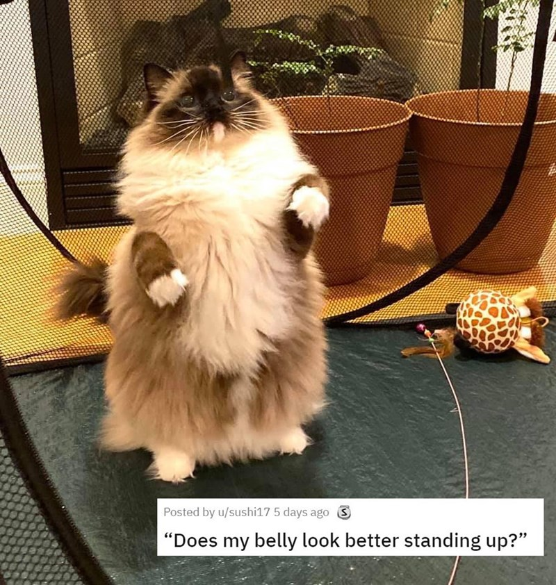 """Cat - Posted by u/sushi17 5 days ago S """"Does my belly look better standing up?"""""""