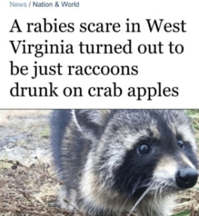 Mammal - News / Nation & Warld A rabies scare in West Virginia turned out to be just raccoons drunk on crab apples