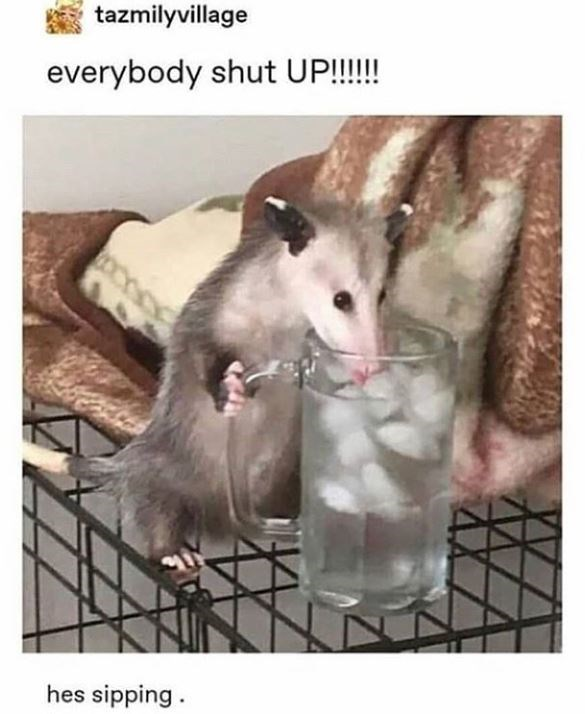 Common opossum - tazmilyvillage everybody shut UP!!!!! hes sipping.