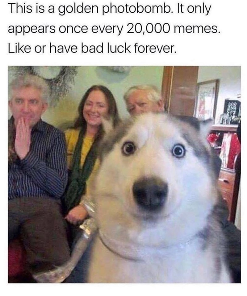 "Funny meme that reads, ""This is a golden photobomb. It only appears once every 20,000 memes. Like or have bad luck forever"" above a photo of a photobombing husky making a silly face"