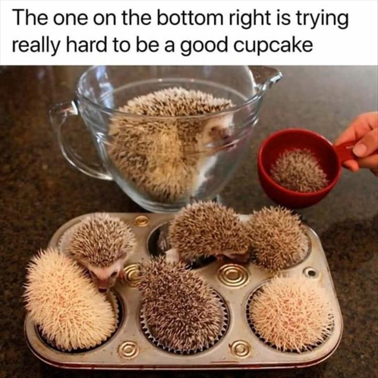 tiny hedgehogs playing in a cupcake pan, caption that reads the one on the bottom right is trying really hard to be a good cupcake