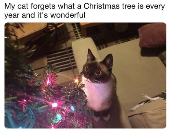 Cat - My cat forgets what a Christmas tree is every year and it's wonderful