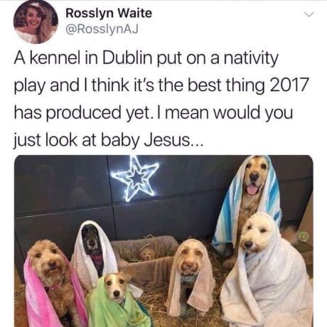 Dog - Rosslyn Waite @RosslynAJ A kennel in Dublin put on a nativity play and I think it's the best thing 2017 has produced yet. I mean would you just look at baby Jesus...