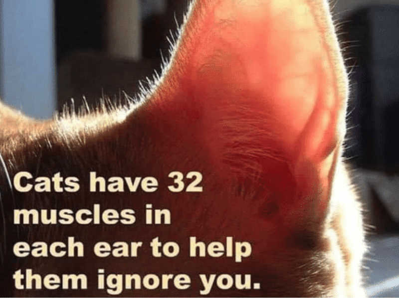 Nose - Cats have 32 muscles in each ear to help them ignore you.
