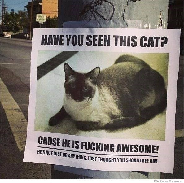 Cat - HAVE YOU SEEN THIS CAT? CAUSE HE IS FUCKING AWESOME! HES NOT LOST OR ANYTHING, JUST THOUGHT YOU SHOULD SEE HIM. We KnowMemes