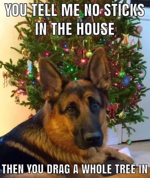 German shepherd dog - YOU TELL ME NO-STICKS IN THE HOUSE THEN YOU DRAG A WHOLE TREE IN