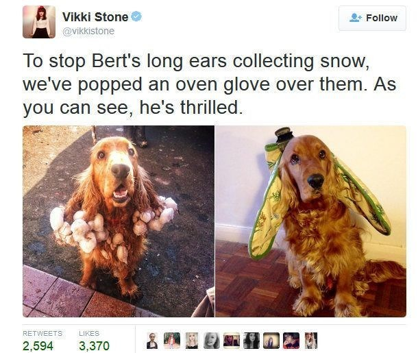 Dog - Vikki Stone Follow @vikkistone To stop Bert's long ears collecting snow, we've popped an oven glove over them. As you can see, he's thrilled. LIKES RETWEETS 2,594 3,370