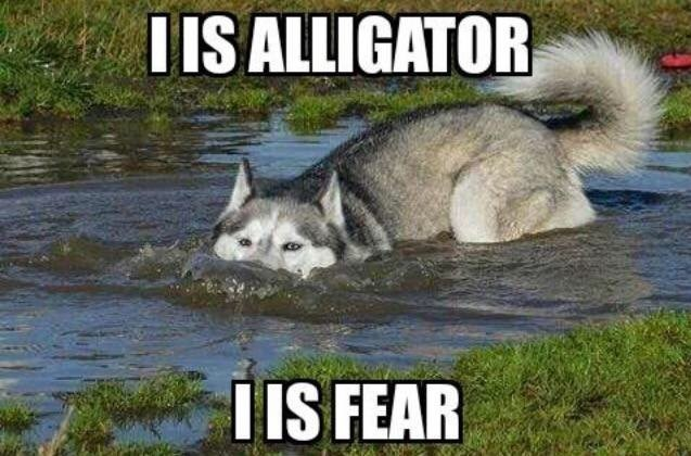 Siberian husky - T IS ALLIGATOR I IS FEAR