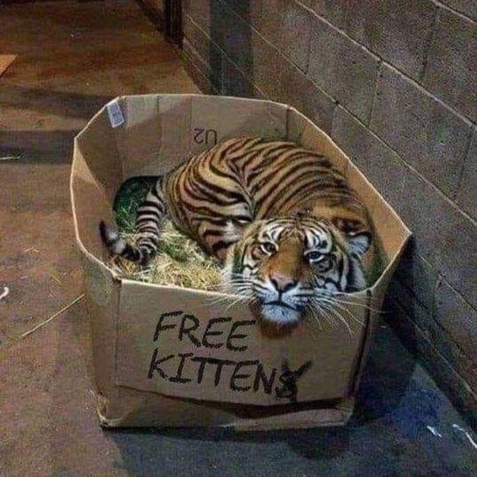Tiger - U2 FREE KITTENS