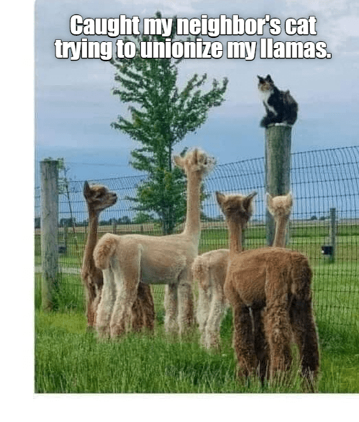 Alpaca - Caught my neighbor's cat trying to unionize my llamas.
