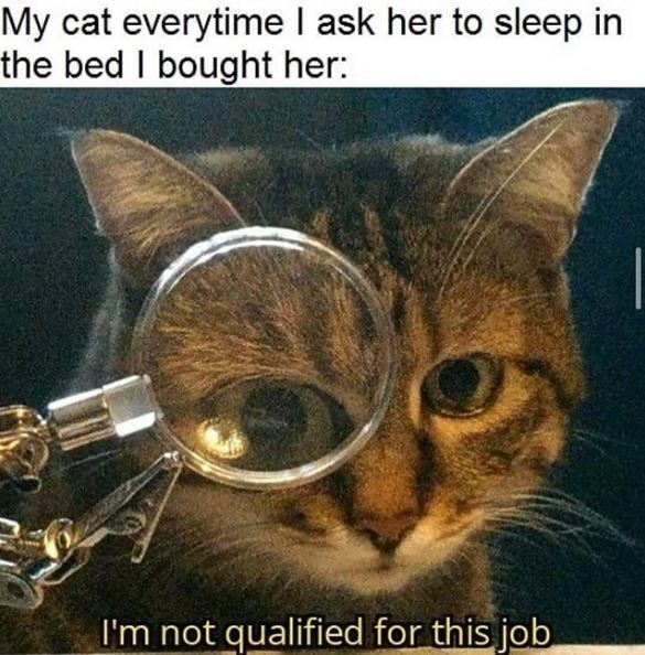 Cat - My cat everytime I ask her to sleep in the bed I bought her: I'm not qualified for this job