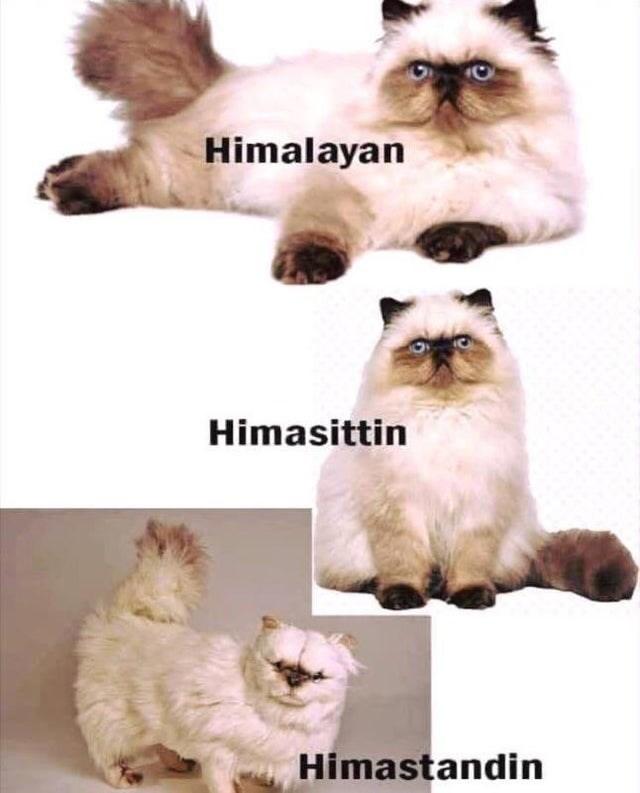 Cat - Himalayan Himasittin Himastandin