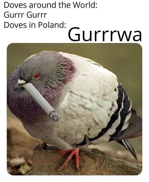 Bird - Doves around the World: Gurrr Gurrr Doves in Poland: Gurrrwa