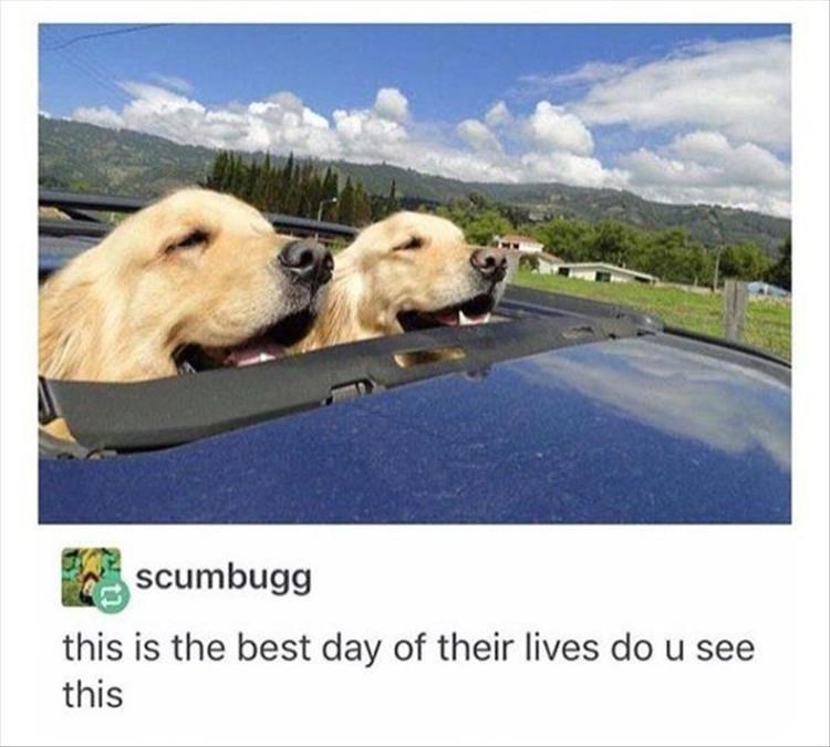 two golden retrievers sticking their heads out of a roof window in a moving car. capon that reads: this is the best day of their lives do u see this