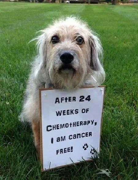 Dog - AFTER 24 WEEKS OF CHEMOTHERAPY, I aM cancER FREE!