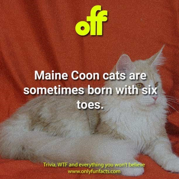 Cat - off Maine Coon cats are sometimes born with six toes. Trivia, WTF and everything you won't believe www.onlyfunfacts.com