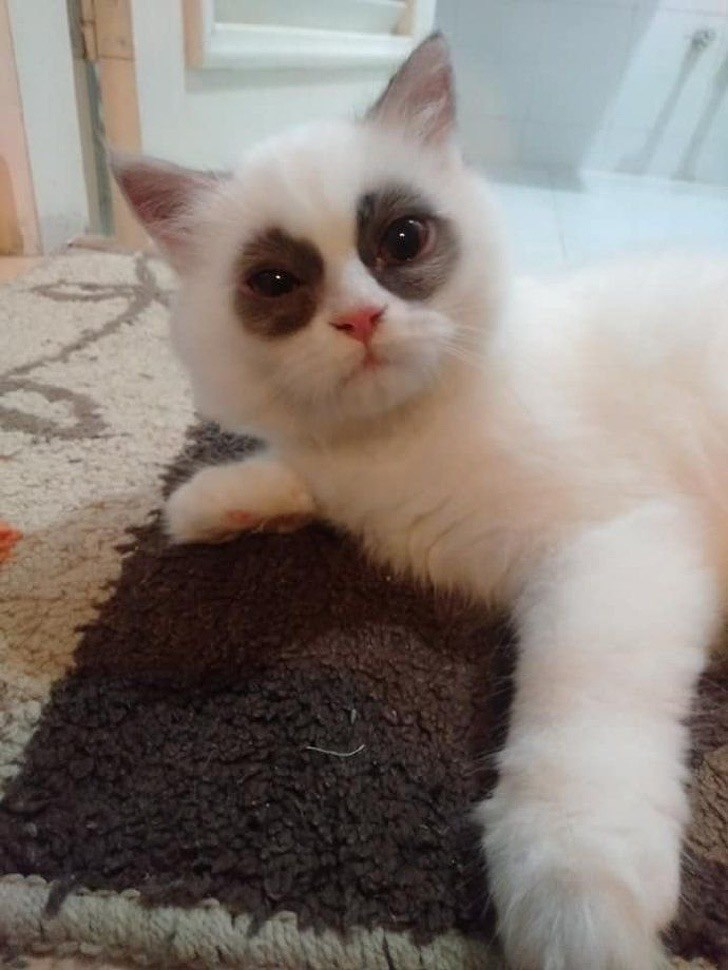 white cat with dark spots around its eyes that make it look like it's tired and has dark circles around its eyes