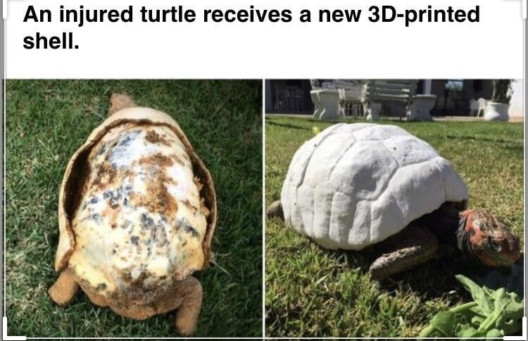 two photos of a turtle, the first with its shell damaged and mostly missing, the second with a white artificial shell. an injured turtle receives a new 3d-printed shell.