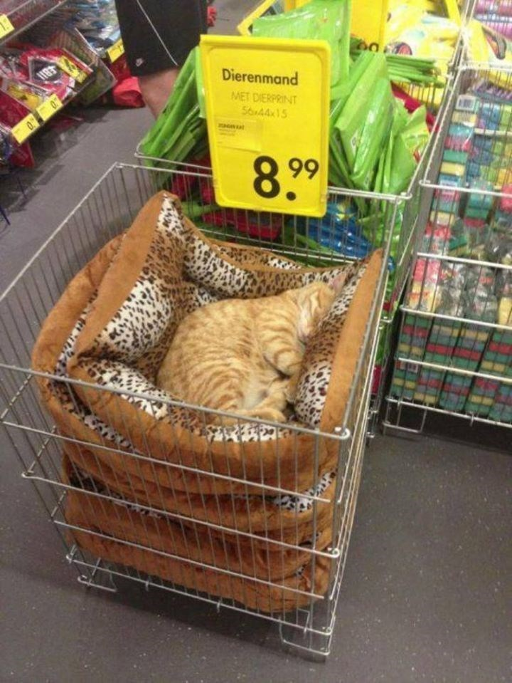 cute orange cat sleeping on a pile of cat beds in a store