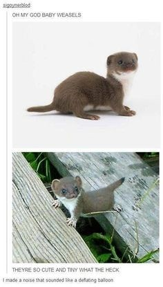 Vertebrate - sigoynertiod OH MY GOD BABY WEASELS THEYRE SO CUTE AND TINY WHAT THE HECK I made a noise that sounded like a deflating baloon