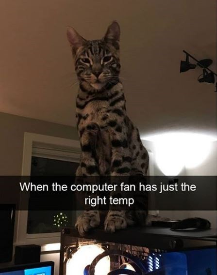 Cat - When the computer fan has just the right temp