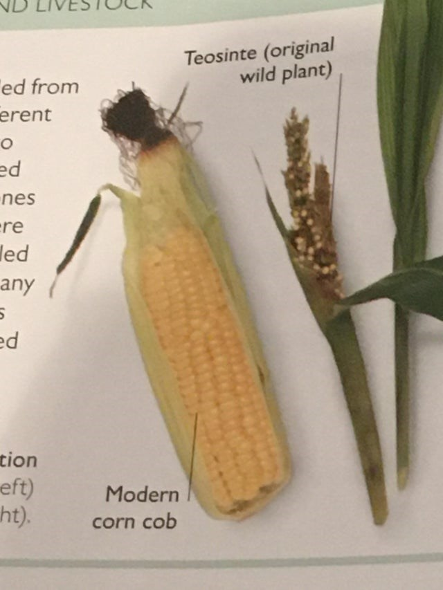 Insect - Teosinte (original wild plant) Ted from erent ed nes ere led any ed tion eft) ht). Modern corn cob