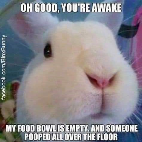 Rabbit - OH GOOD, YOU'RE AWAKE MY FOOD BOWL IS EMPTY. AND SOMEONE POOPED ALL OVER THE FLOOR facebook.com/BinxBunny