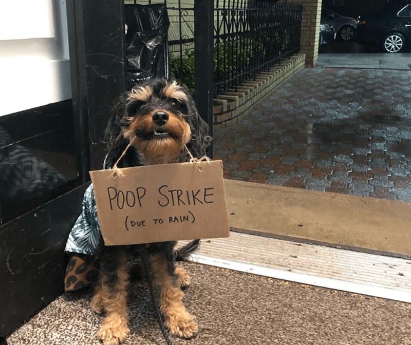 Dog - POOP STRIKE (DUE TO RAIN)