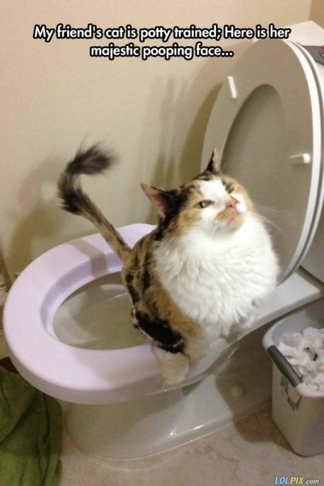Cat - Myfiend's cat is potty trained; Here is her majestie pooping face LOLPIX.com