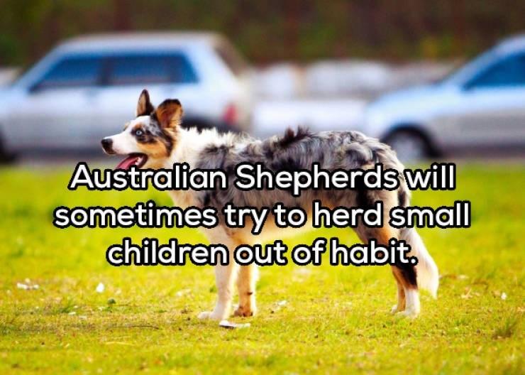 Vertebrate - Australian Shepherds will sometimes try to herd small children out of habit.